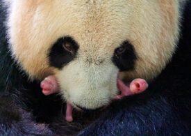 Doi pui de panda s-au născut în Franţa. Unul are doar 149 de grame