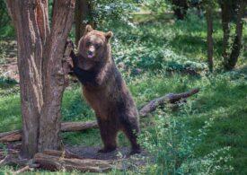 Un urs care obișnuia să umble prin orașul Râșnov a fost capturat și relocat
