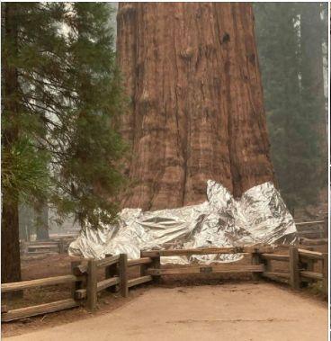 Măsuri disperate: Cel mai mare copac din lume și unul dintre cei mai vechi de pe Terra a fost înfășurat în folii de aluminiu