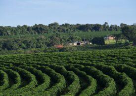 Americanii au început să cultive arbori de cafea, atât de mult s-a schimbat clima