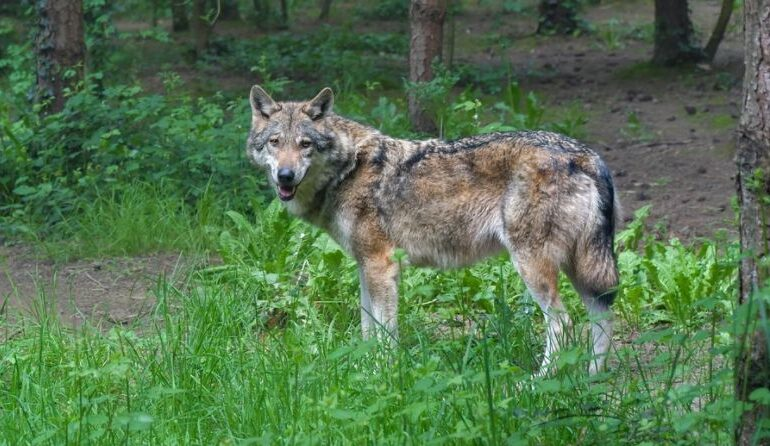 Și lupii dau din coadă? De unde vine acest obicei