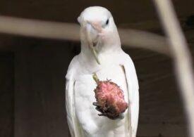 O specie de papagali folosește ustensile pentru mâncat, în sălbăticie. Mai inteligente decât ciorile! (Video)