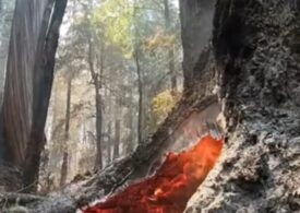 Giganții sequoia sunt amenințați și anul acesta de incendiile din California. Deja s-au făcut scrum două treimi din arbori (Video)