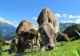 Vacile ar putea fi învăţate să meargă la toaletă pentru a reduce emisiile de gaze cu efect de seră