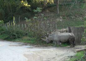 """A murit """"bunicul Toby"""", cel mai bătrân rinocer din lume. Și-a depășit speranța de viață cu aproape 15 ani!"""
