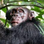 Cimpanzei sălbatici