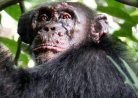 Cimpanzei sălbatici cu lepră, descoperiți pentru prima oară