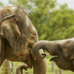 Elefanții fără